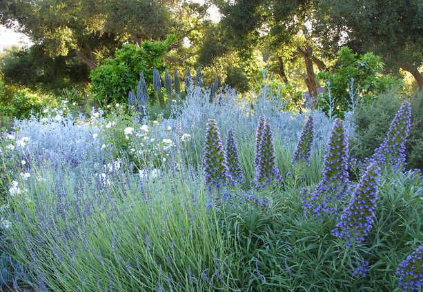 Stunning blue combo -- Echium, Russian sage and lavender