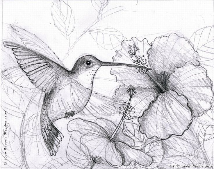Pencil Drawings Of Hummingbirds | Hawaii Dermatology