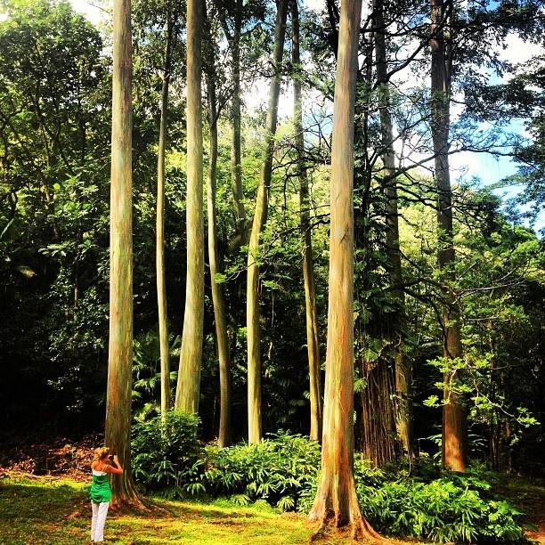 Rainbow eucalyptus trees along the Road to Hana, Maui