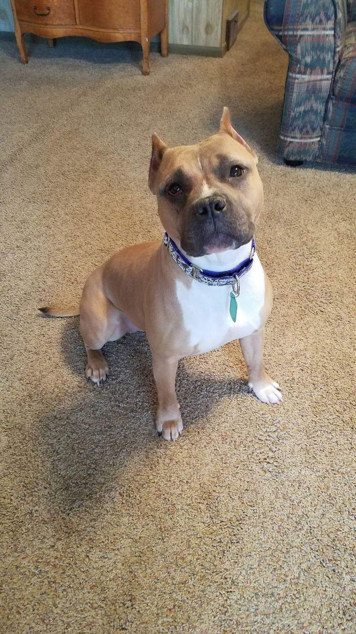 Adopt Hazel on Pitbull terrier, Bull terrier mix