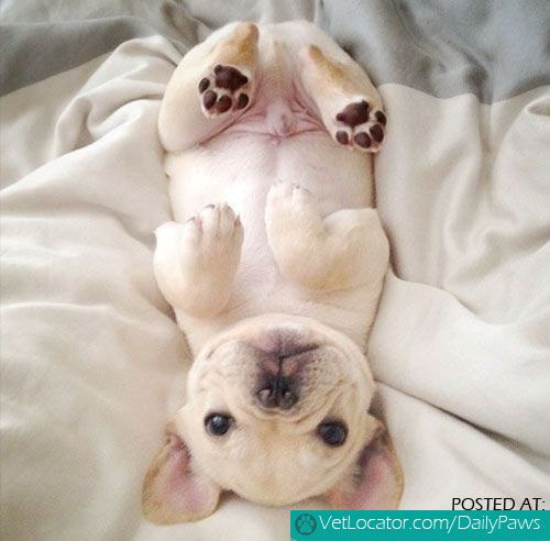 Daily Paws Picture of the Day: Adorable French Bulldog! - http://www.vetlocator.com/dailypaws/2014/02/daily-paws-picture-of-the-day-adorable-french-bulldog-2/
