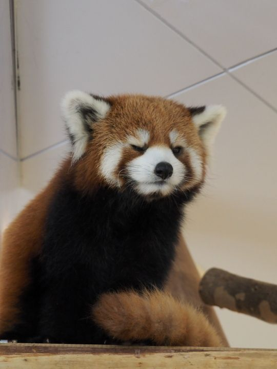 Red panda face lower