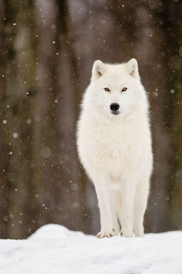 Arctic Wolf by Maxime Riendeau