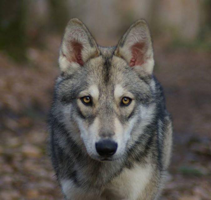 My Saarloos Wolfdog / Mon chien-loup de Saarloos : Isil de Luna Canis Lupus