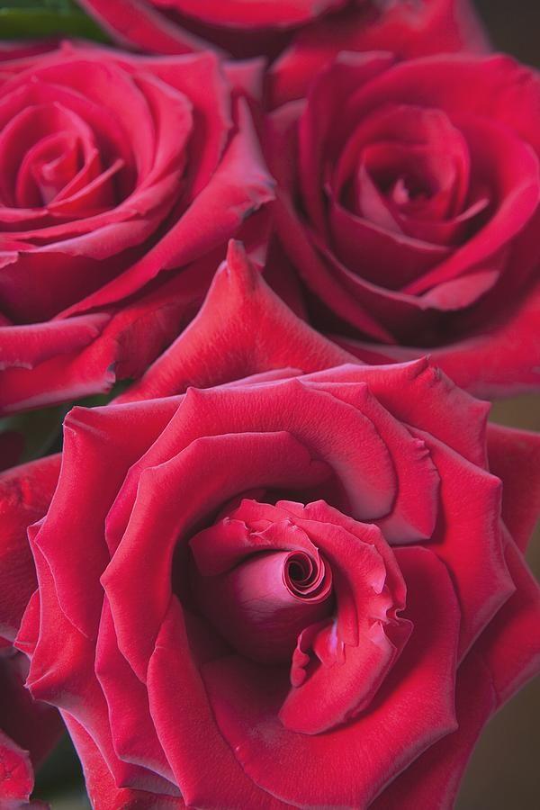 Red Roses Quebec, Canada