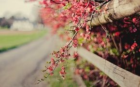 Wallpaper focus, quince, flowers, nature, the bushes, fence, pink, bokeh, sprig, the fence, flowering, spring
