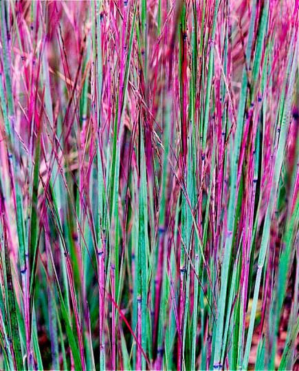 Ornamental Grass: Little bluestem is a native prairie grass that is both lovely and tough as nails. These perennials have gray-green foliage that turns bold s...