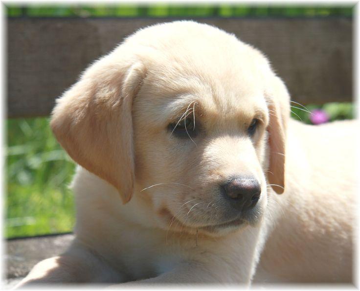 Labrador Puppies opawz.com  supply pet hair dye,pet hair chalk,pet perfume,pet shampoo,spa....