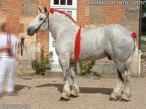 Percheron (Trait type) stallion Navarro des Hates