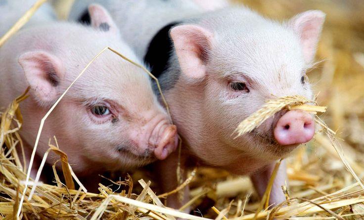 A Hanovre, des bébés cochons nains ont vu le jour le 25 juillet.