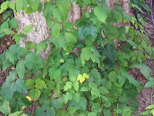 Poison Ivy (P) (Toxicodendron radicans) - family: Anicardiaceae (Cashew) - MSU Turf Weeds.net - Weed identification and information. A resource guide from the Dept. of Crop and Soil Sciences at Michigan State University