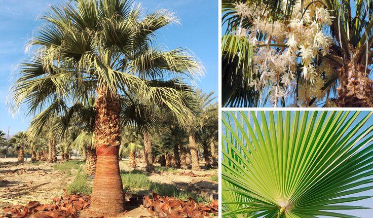 Palmera abanico de California (California).