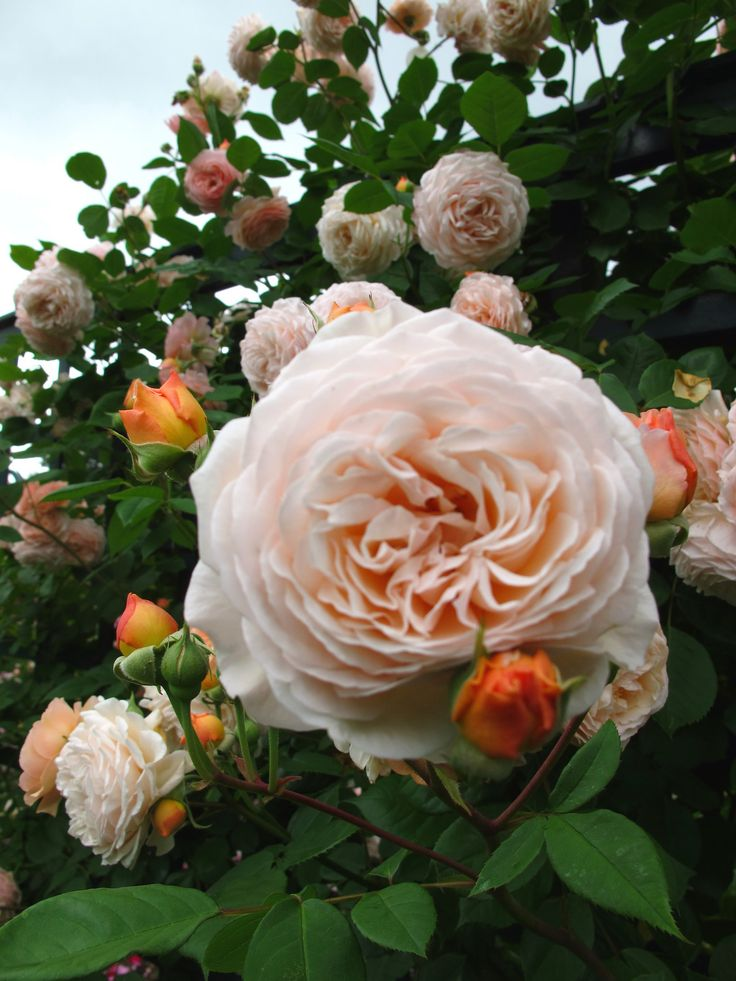 'Leander' | Shrub. English Rose Collection. David C. H. Austin, 1982 | Flickr - © Kristine Paulus