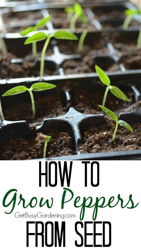 Peppers are one of the easiest vegetables to start indoors from seed. Here's How To Grow Peppers From Seed | GetBusyGardening.com: