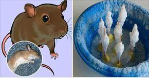 Quem não quer ter uma casa cheirosa, arrumada e limpinha? É claro que nada disso combina com a presença de ratos.Se você está sofrendo com esse tipo de praga, esta matéria lhe será muito útil.