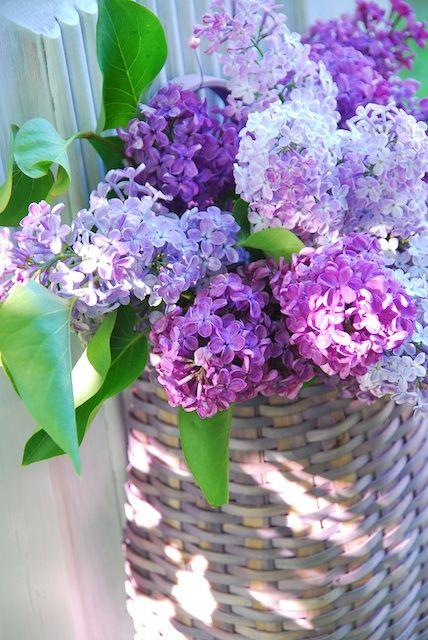 basket of lilacs: Beautiful Flower, Purple, Beautiful Lilac, Flowers, Garden, Spring, Favorite Flower
