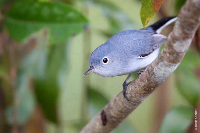 Blue-gray Gnatcatcher (Polioptila caerulea) Southeastern United States
