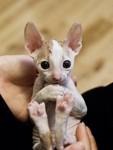 Baby Sphynx.........look at those eyes!
