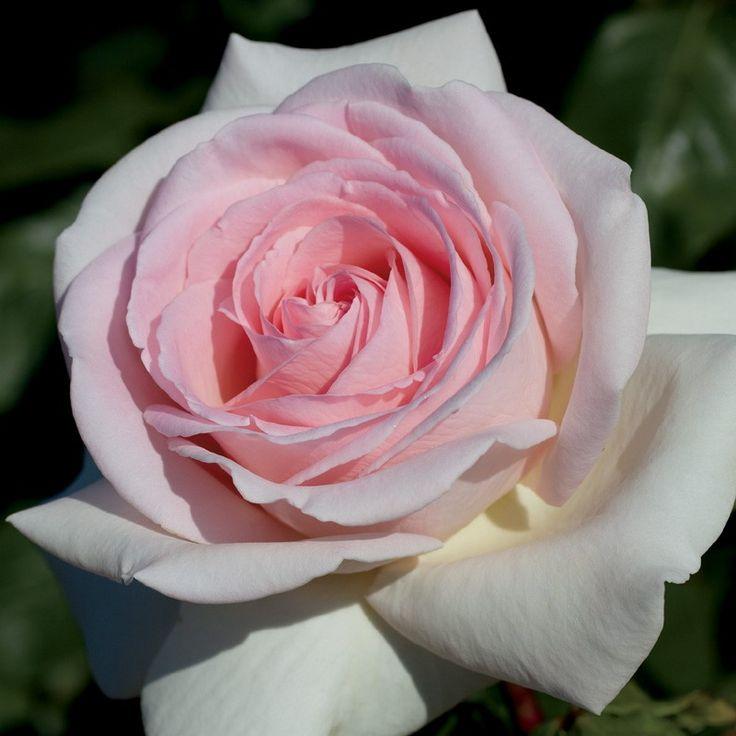 3882 best Rose garden images on Pinterest   Beautiful roses ...