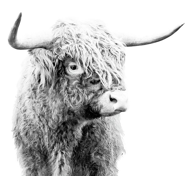 Scottish Highland Cattle artwork for sale by Athena Mckinzie.  http://fineartamerica.com/featured/highland-cow-bw-athena-mckinzie.html