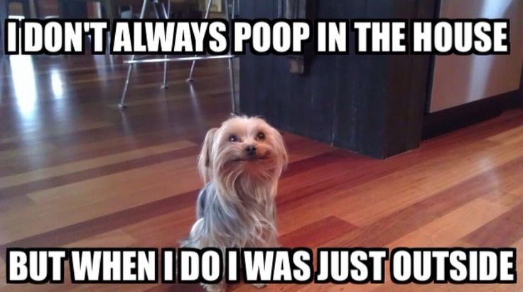 Only a Yorkie parent will understand this struggle.: