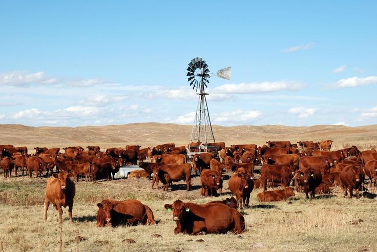 Un rebaño de ganado Angus Rojo permanece cerca de un abrevadero en el rancho de Wilson (Charlie Wilson/AP)