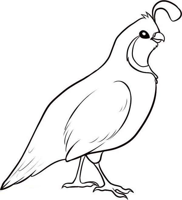 Valley Quail Coloring Page Color Luna Detailed Coloring Pages Bird Coloring Pages Coloring Pages