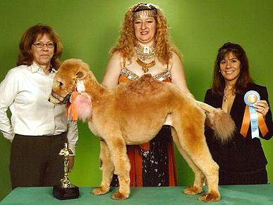 Camel Poodle