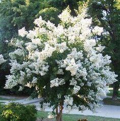 dwarf crepe myrtle varieties   Dwarf Crape Myrtle White - Longest Blooming Tree