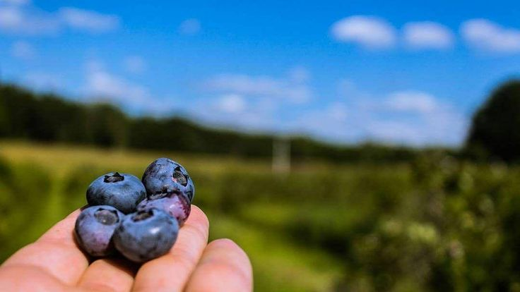 It's blueberry season in Northern     #PureMichigan #Kaleva #Manistee #WestMichigan #NorthernMichigan #Michigan #Midwest #USA #Blueberries #Fruit #Blue #Green #4thofjuly #IndependenceDay #Sky #Forest #Grass #Pasture #Summer #Canon #CanonEOS