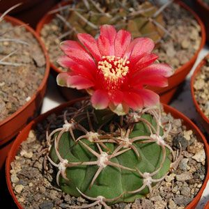 Gymnocalycium carminanthum hybrid