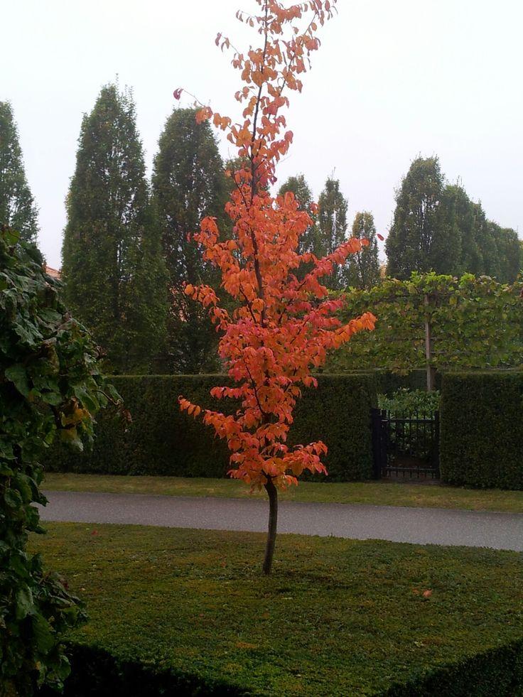 Scarlet autumnred