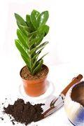 Sedm chyb, které děláte při pěstování zamiokulkasu