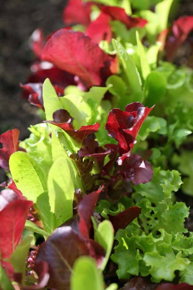 Growing Lettuce Mix - Lettuce mix is a simple crop to grow. Much easier than growing head lettuce. In a very small area, you can grow enough to supply your family with fresh salads year round. Let me show you how... #LadyLeesHome