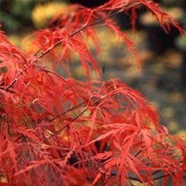 Erable du Japon 'Dissectum Garnet' 150cm 245€ Arrosage : modéré Composition du sol : normal, terre de bruyère, riche en humus Couleur feuille : pourpre Exposition : soleil, mi-ombre Hauteur à maturité : 3 m Humidité du sol : normal Largeur à maturité : 2 m PH du sol : neutre, acide Période de plantation : toute l'année (hors gel) Température minimale : -20°C Utilisation en jardin : massif, sous-bois, isolé, bac