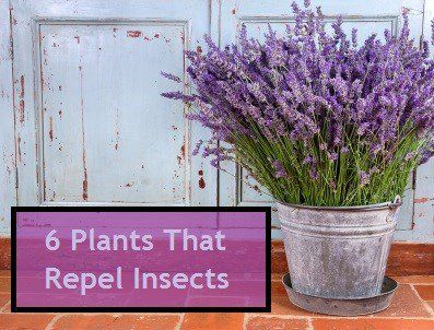 Insect-repelling plants
