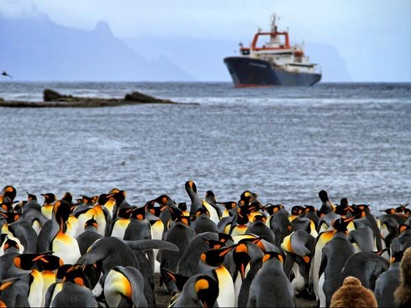 Les manchots sont l'une des espèces phare des Terres australes, notamment au Crozet où le bateau de recherche, le Marion Dufresne, a jeté l'ancre.: