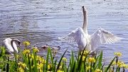 hd swan family spring wallpaper download