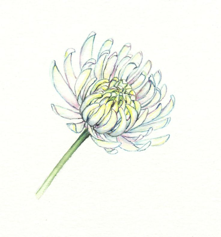 aster flower drawing