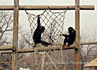 Chimpanzees at the Tulsa Zoo
