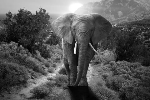Asian Elephant Endangered Status