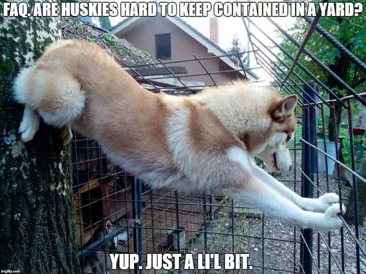 12 bonnes raisons de ne JAMAIS adopter un husky !
