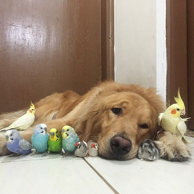 Lovable Dog Lives Harmoniously with 8 Birds and a Hamster - My Modern Met
