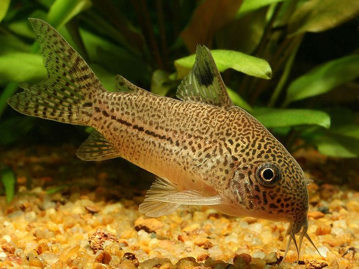 1000 images about underwater amazingness on pinterest for Cory cat fish