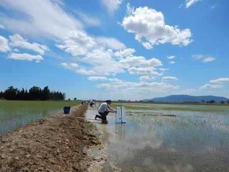 Sedimentos en los campos de arroz para disminuir el hundimiento del Delta del Ebro — Noticias de la Ciencia y la Tecnología (Amazings®  / NCYT®)