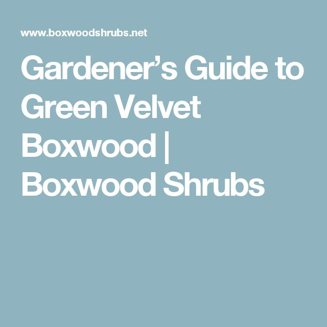 Gardener's Guide to Green Velvet Boxwood | Boxwood Shrubs