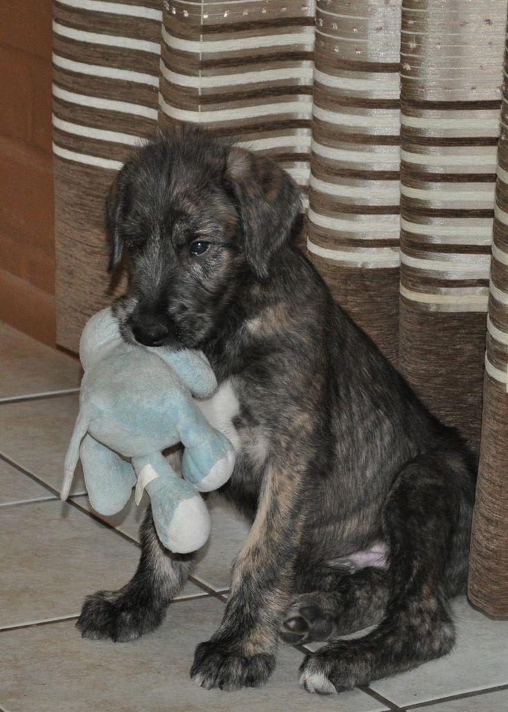 Irish Wolfhound Info, Temperament, Puppies, Pictures