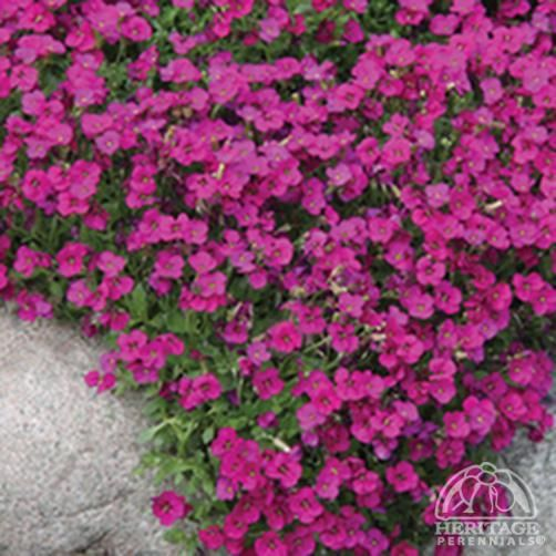 Plant profile for aubrieta gloria rock cress perennial for Easy care perennial plants