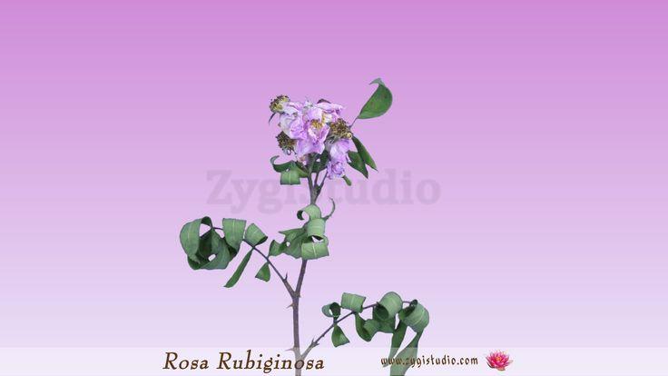 Timelapse of Drying Rosa Rubiginosa Branch.