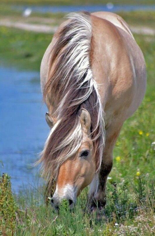 Norwegian Fjord horse - With untrimmed mane. Looks good!